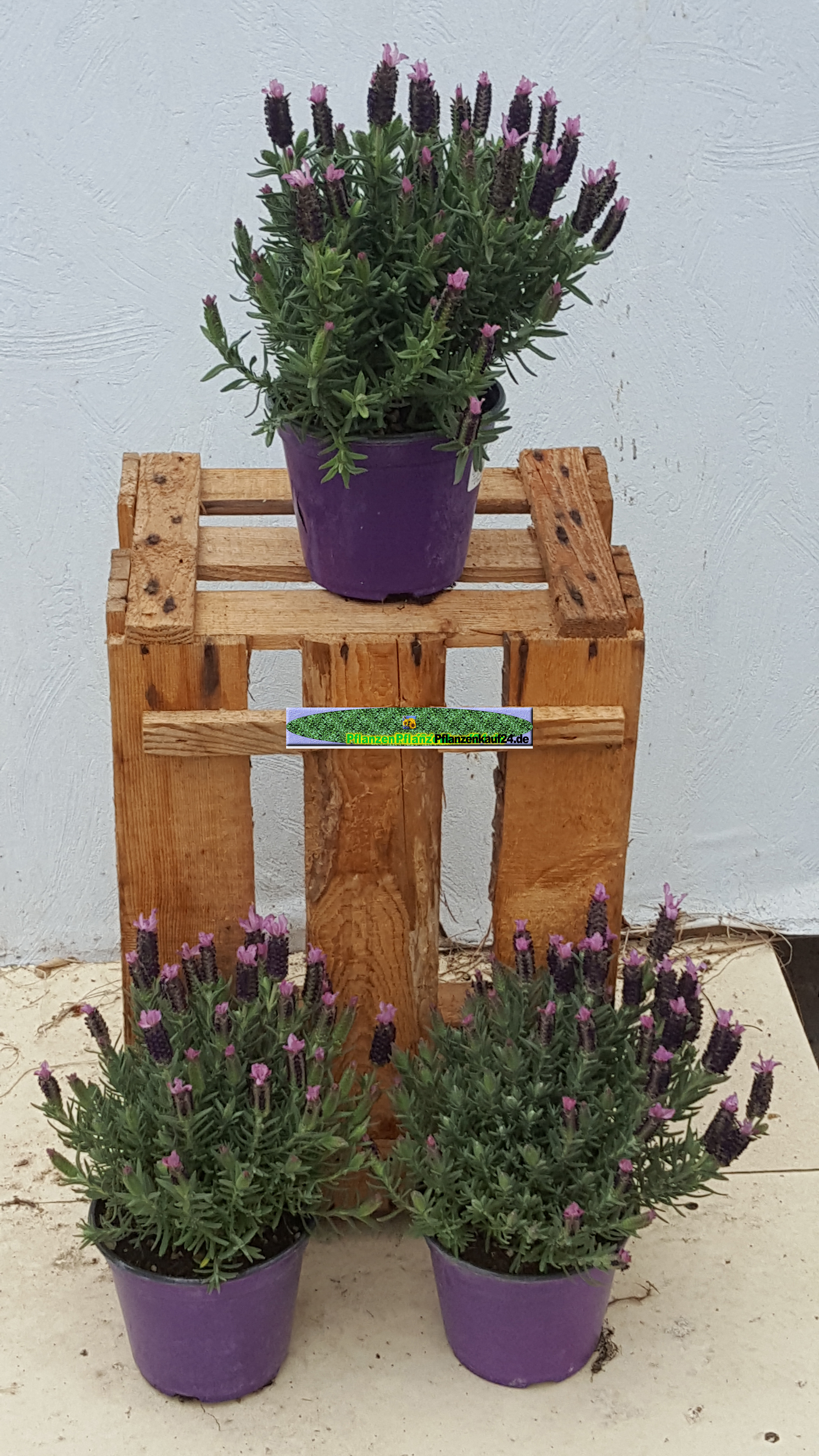 tomate olive gartenpflanzen lavendel rosen rasenroboter olivenkraut bierhopfen home. Black Bedroom Furniture Sets. Home Design Ideas